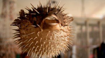 Blowfish Business: Make Yourself Look Bigger!